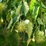 Baum-Hasel Fruechte P1020892