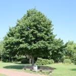 Baum-Hasel IMG_0476
