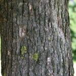 Baum-Hasel IMG_0478