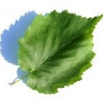 Baum-Hasel IMG_0483
