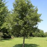 Holz-Birne IMG_0643