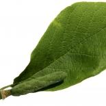 Kobushi-Magnolie frei IMG_0579