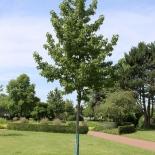 Morgenlaendischer Amberbaum IMG_1069