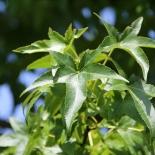 Morgenlaendischer Amberbaum IMG_1073