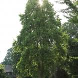 Tulpenbaum IMG_0236