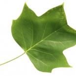 Tulpenbaum frei IMG_0240
